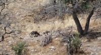 Se dio a conocer que tras diversos intentos de regresar a la vida silvestre al Lobo mexicano, por fin se tuvo éxito en este trabajo en biodiversidad con la documentación […]