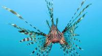 Pterois volitans ó el Pez León, originario del Océano Índico y las costas de China, actualmente se está extendiendo por el Océano Pacifico y el Caribe como una Especie Exótica […]
