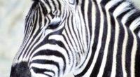 Las cebras son animales negros con rayas blancas y con una gran mancha blanca en el vientre que sirve para camuflarse. Hay tres razones por las cuales se considera que […]