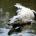 La Comisión Nacional de Uso de la Biodiversidad (Conabio) dijo que la recuperación de las poblaciones de cocodrilo de pantano de México ha sido exitosa. Dos especies de cocodrilos y […]