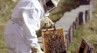 La presente administración estatal fortalece la apicultura, mediante el apoyo a productores con el reemplazo de abejas reina, núcleos de colmenas, equipamiento, tecnificación de instalaciones, asesoría técnica y capacitación con […]