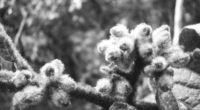 Nombre científico: Solanum hirtum Vahl. Arbusto de aproximadamente 2 m de altura, muy ramificado. En las hojas se observan pelos suaves y espinas rectas o encorvadas. Flores de color blanco […]