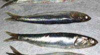 Uno de los ejemplos más representativos de las consecuencias de la sobrepesca en los ecosistemas naturales es el de la anchoveta (Engraulis ringens). Este pequeño pez, muy abundante en las […]