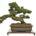 """Tener un árbol bonsai es un arte, es tener una decoración más en casa. La palabra bonsai viene del japonés y significa """"plantado en una bandeja"""". La existencia del bonsai […]"""