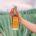 La empresa mexicana Casa Mezcal Oro Oaxaca, destaca por su producción de esta bebida oaxaqueña que se lleva a cabo artesanalmente, con la misma técnica y materias primas de hace […]