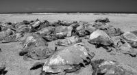 De enero a junio de este año la Procuraduría Federal de Protección al Ambiente (Profepa) ha contabilizado en playa San Lázaro, BCS 351 tortugas caguama (Caretta caretta) muertas en el […]