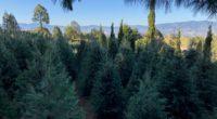 La Comisión Nacional Forestal (Conafor) indica que de acuerdo con la información proporcionada por 12 Gerencias Estatales, existe una disponibilidad de 529 mil 345 árboles de Navidad para la temporada […]