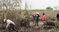 El cultivo de caña de azúcar en México es muy importante desde el punto de vista económico y durante la pandemia del COVID-19, la zafra –recolección de la planta– no […]