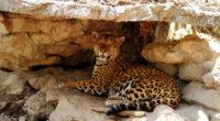 De acuerdo a la organización WWF, el jaguar es el carnívoro más grandede Latinoamérica, su presencia se extiende a lo largo de 18 países, sin embargo, la especie corre graves […]