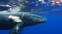 Es una masacre silenciosa que la mayoría de la gente desconoce. Cada año, hasta 20.000 ballenas mueren a causa de colisiones letales con embarcaciones. La imagen de una ballena muerta […]