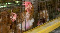 Mientras que en Europa en 2027 se terminará con el uso de jaulas de cría de animales en jaula, en México no existe ninguna política que incentive el bienestar de […]