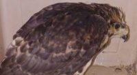 La Procuraduría Federal de Protección al Ambiente (PROFEPA) rescató a dos aves de presa juveniles, en comunidades del municipio de Rosamorada, Nayarit, dentro de la Zona de Influencia del Área […]