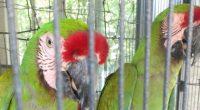 La Procuraduría Federal de Protección al Ambiente (PROFEPA) aseguró de manera precautoria, y en acciones distintas, dos ejemplares de Guacamaya Verde (Ara militaris)y un Loro Cabeza Amarilla (Amazona oratrix)en el […]