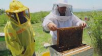 Los apicultores de México están dejando de captar un sobreprecio por su miel de entre 35 y 40% en mercados internacionales –donde su calidad es reconocida–, porque la venden a […]
