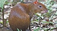 Serete, Guaqueque, Cuautuza Dasyprocta punctata Orden: Rodentia Familia: Dasyproctidae La longitud total de este roedor, en estado adulto, es de entre 50 y 66 centímetros y su peso puede llegar […]