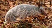Armadillo de cola desnuda Cabassous centralis Orden: Xenarthra Familia: Dasypodidae Este armadillo mide entre 43 y 58 centímetros de longitud total. El peso caría entre 2 y 3.5 kilogramos. De […]