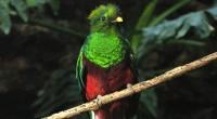 Quetzal Pharomachrus mocinno Orden Trogoniformes Familia: Trogonidae El Quetzal es una de las aves que, por su presencia o simbolismo, se ha convertido en íconos de nuestro país a nivel […]