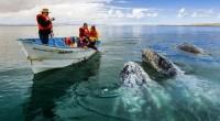 La ballena gris que viaja más de 8 mil kilómetros para iniciar y concluir su ciclo reproductivo en las lagunas costeras del Océano Pacífico en Baja California Sur es un […]