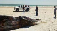La Procuraduría Federal de Protección al Ambiente (PROFEPA) atendió el varamiento de un ejemplar de Ballena, cuyo cuerpo fue encontrado en la Reserva de la Biósfera Alto Golfo de California […]