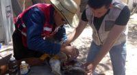 La Procuraduría Federal de Protección al Ambiente (PROFEPA) llevó a cabo el rescate de un Búho cornudo en Chihuahua, el cual se encontró herido de la ala izquierda. Derivado de […]