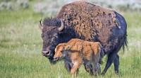 Bisonte Bison bison Orden: Artiodactyla Familia: Bovidae El Bisonte pertenece a la familia Bovidae que en la actualidad se encuentra reducido a dos especies: el bisonte americano (Bison bison), que […]