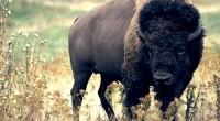 El bisonte americano (Bison bison), es un mamífero terrestre de mayor tamaño en el continente Americano, su habitar solía ser en las planicies del norte de México, Estados Unidos y […]