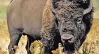 El bisonte americano (Bison bison) es un mamífero terrestre de mayor tamaño en el Continente Americano. su hábitat solía ser en las planicies del norte de México, Estados Unidos y […]