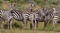 Cebra de Grévy Equus grevyi Orden: Perissodactyla Familia: Equidae La Cebra de Grevy es la mayor de las tres especies de cebras, con un peso corporal de hasta 450 kg. […]