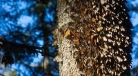 """Bajo el lema de """"Protejamos Alas Monarca», la Comisión Nacional de Áreas Naturales Protegidas (Conanp), anunció el inicio de la Semana Nacional por la Conservación (SNC), que se realizará del […]"""