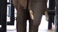 La Procuraduría Federal de Protección al Ambiente (PROFEPA) confirmó que el plan de manejo y cuidados médicos de la elefantaElydesde su arribó al Zoológico de San Juan de Aragón, han […]