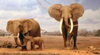 Elefante Africano Loxodonta africana Orden: Proboscidea Familia: Elephantidae Los elefantes africanos son los animales terrestres más grandes de la Tierra. Se les puede reconocer por sus enormes orejas, que tienen […]