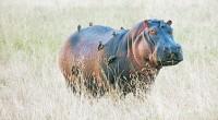 Hipopótamo común Hippopotamus amphibius Orden: Artiodactyla Familia: Hippotamidae Es un animal muy grande y robusto (con una gran capa de grasa), de patas muy cortas, hocico y grande y ancho, […]