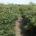 El Instituto Nacionalde Investigaciones Forestales, Agrícolas y Pecuarias (INIFAP) desarrolló una nueva variedad comercial de chile serrano delgado CHISER-522, tolerante a enfermedades y con mayor rendimiento productivo. Con esta nueva […]