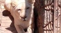 La Procuraduría Federal de Protección al Ambiente (PROFEPA) aseguró un ejemplar de León africano (Panthera leo) que se encontraba en cautiverio en un inmueble particular en el Ejido Quesería, municipio […]