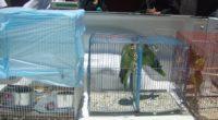 La Procuraduría Federal de Protección al Ambiente (PROFEPA) aseguró precautoriamente ocho ejemplares de aves, de la familia de los psitácidos, en la Zona Centro de la Ciudad de Durango, debido […]