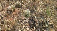La Procuraduría Federal de Protección al Ambiente (PROFEPA) suspendió de manera total temporal un aprovechamiento de plantas de maguey en el municipio de Ahuacoutzingo, Guerrero, debido a que los responsables […]