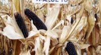 Además de su riqueza natural, los maíces pigmentados, azules, rojos o rosados, tienen el beneficio de alcanzar un sobreprecio en los mercados regionales de hasta 70%, respecto grano blanco. Su […]
