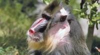 El Mandril Mandrillus sphinx Orden: Primates Familia Cercopithecidae Distribución: El Mandril (Mandrillus sphinx) es natural de África ecuatorial. Su distribución comprende desde Guinea Ecuatorial hasta el Congo. Hábitat: La mayor […]