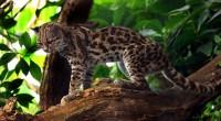 Tigrillo Leopardus wiedii Orden: Carnívora Familia: Felidae Felino de tamaño pequeño, mide de 80 a 130 centímetros de longitud total y puede llegar a pesar entre 3 y 9 kilogramos; […]
