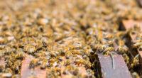 En 2017 México ocupó el octavo lugar a nivel mundial en producción de miel, logrando exportar a países como Alemania poco más de 26 mil toneladas conforme a las estimaciones […]