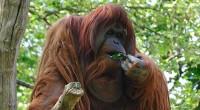 Graciela Montiel H. Orangután Pongo pygmaeus Orden: Primates Familia: Homnidae El orangután es una especie de los grandes simios junto a los gorilas, chimpancés. El orangután posee largos brazos y […]