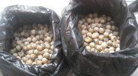 La Procuraduría Federal de Protección al Ambiente (PROFEPA) realizó el peritaje de 1,587 huevos de tortuga marina a petición del Ministerio Público Federal, derivado del aseguramiento y puesta a disposición […]