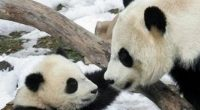 Hace poco la Unión Internacional para la Conservación de la Naturaleza (UICN), anunció que el Oso Panda Gigante ya no está en peligro de extinción, ya que los esfuerzos realizados […]