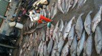 La Procuraduría Federal de Protección al Ambiente (PROFEPA) y la Secretaría de Marina Armada de México (SEMAR) atendieron el reporte del hallazgo de una red con 66 totoabas enmalladas encontrada […]