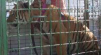 La Procuraduría Federal de Protección al Ambiente (PROFEPA) aseguró un ejemplar de Tigre de Bengala en la ciudad de Tijuana, Baja California, debido a que el domicilio donde se encuentra […]