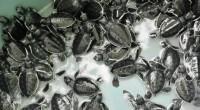 Se dio a conocer que en las costas veracruzanasarriban cinco de las especies detortuga marinaque habitan en el mundo, en cuya protección participan organizaciones civiles, la federación y el estado. […]