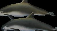 La aplicación del Programa de conservación de la vaquita marina ha sido insuficiente e ineficiente como demuestra el reciente hallazgo de tres vaquitas muertas en sólo un mes, señalaron diversas […]