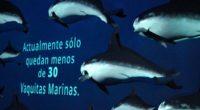 En 1993, la población registrada de vaquitas marinas, único cetáceo endémico de México, alcanzaba 567 individuos, para 2008 quedaban 245, en 2015 el número de redujo a 59 y actualmente […]
