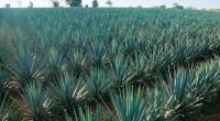 Investigadores mexicanos estudian las propiedades del agave azul o Agave tequilana Weber, para la obtención de fibras potencialmente útiles en el tratamiento de problemas de salud pública como obesidad y […]