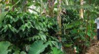 La agroforestería, es una práctica ancestral de sembrar árboles frutales, café y hortalizas en medio de tierras dedicadas al pastoreo y la ganadería, con los siglos perdió fuerza frente al […]
